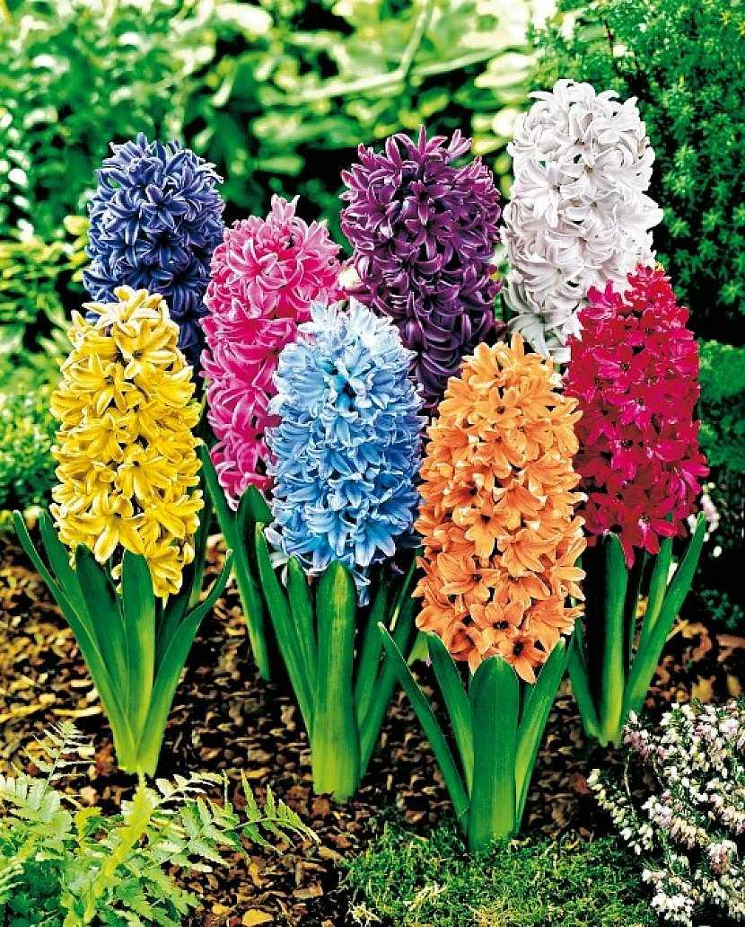 Směs hyacintů