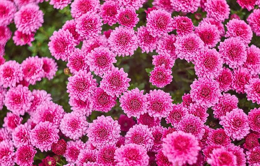 Fialová barva květů je velmi atraktivní