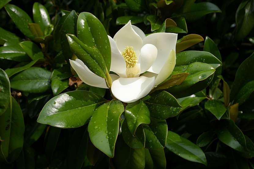 Magnolie obvykle kvete na jaře krásnými rozložitými květy