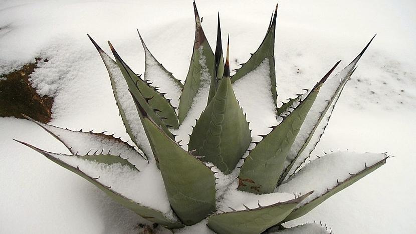 Pořiďte si mrazuvzdorné agáve: agave havardiana v zimě
