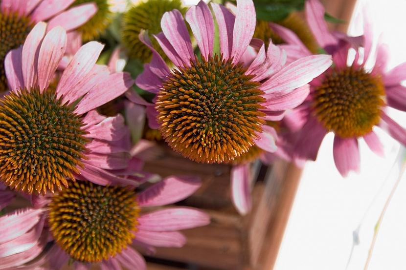 Třapatky si uchovejte do zimních suchých kytic: Otrhejte jim sukničku! 1