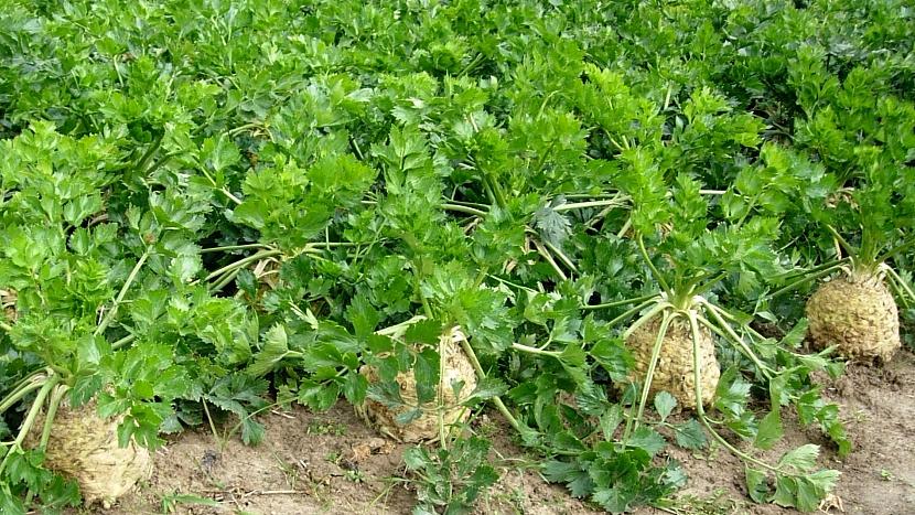 Celer bulvový, raný hybrid ASTERIX F1