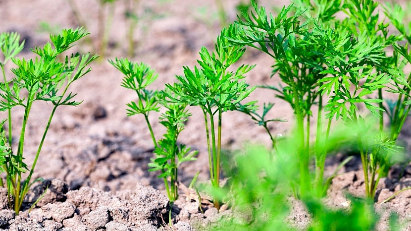 Nad mrkev ze zahrady není: po vzejití osiva pravidelně kypřete prostor mezi řádky