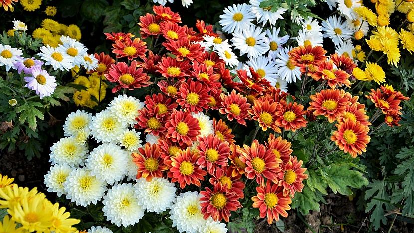 Chryzantémy pěstované na záhonech kvetou od září až do příchodu mrazů