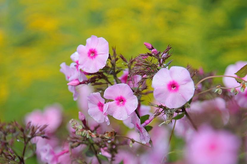 Růžové floxy (Zdroj: Depositphotos)