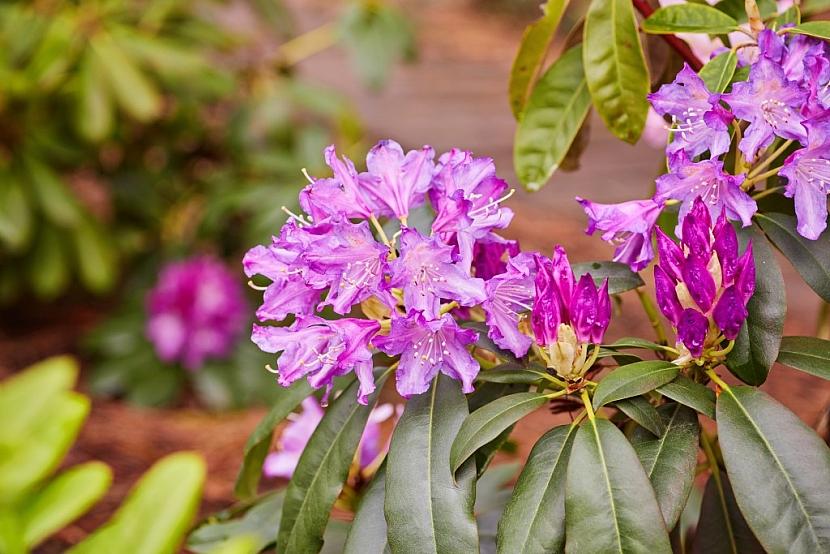 Pro rododendrony se hodí směs rašeliny a vyzrálého kůrového humusu
