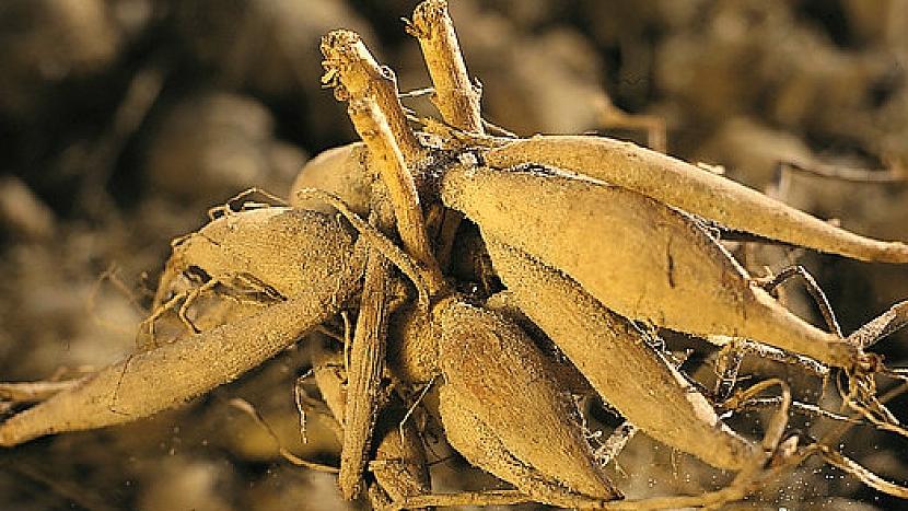 Kořenové hlízy jiřinky (Dahlia)