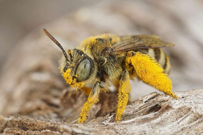 Detail včely, pylové kalhoty