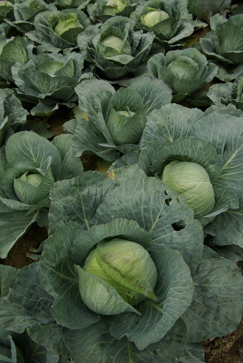 Housenkám běláska zelného chutná především zelí