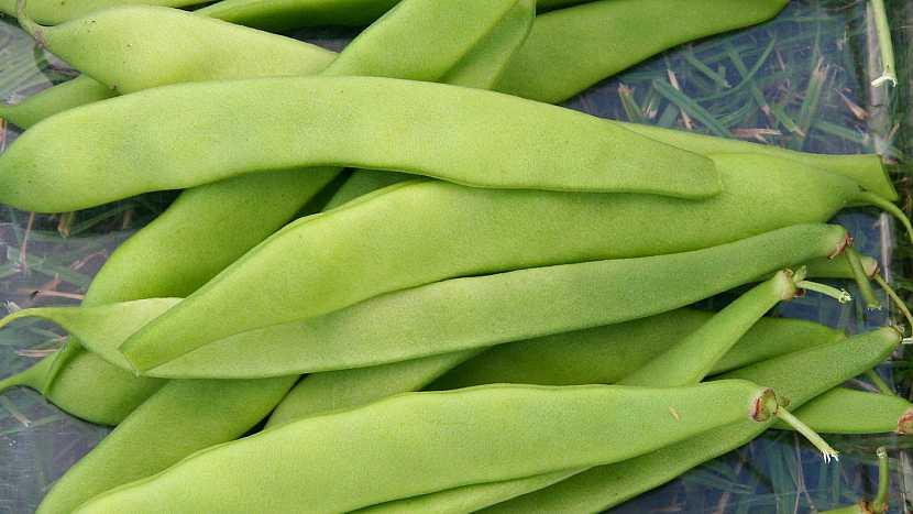 Tyčkové fazole: pozdní odrůda LIMCA