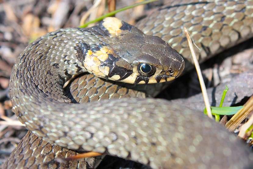 Hadi u nás patří k ohroženým druhům