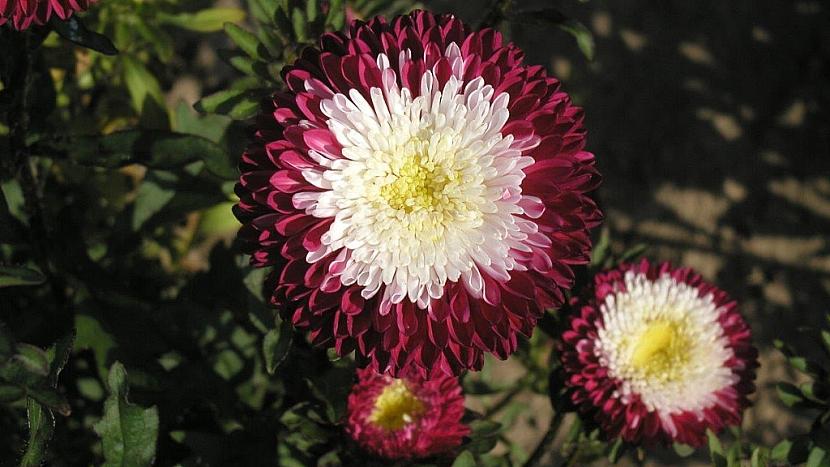 Astra čínská Pompon Red and White