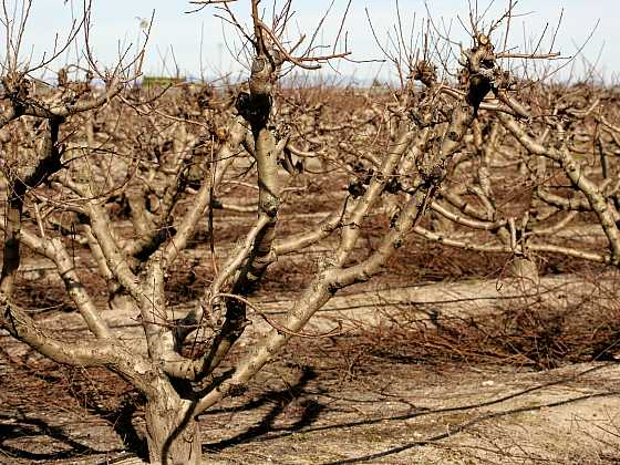Podzimní střih ovocných stromů (Zdroj: Depositohotos)