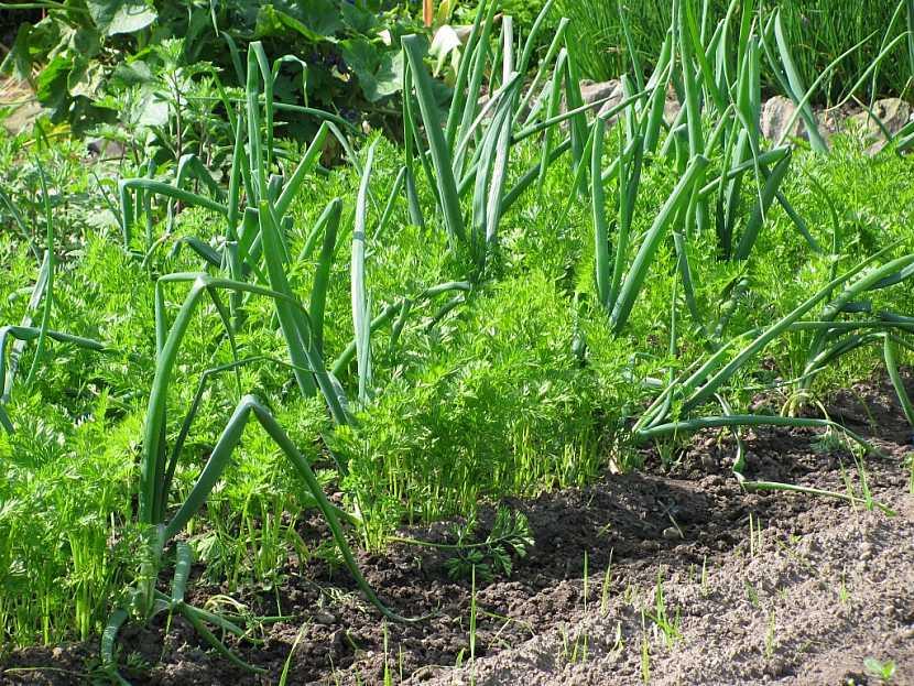 Cibule příznivě ovlivňuje růst mrkve, pamatujte na to při výsadbě
