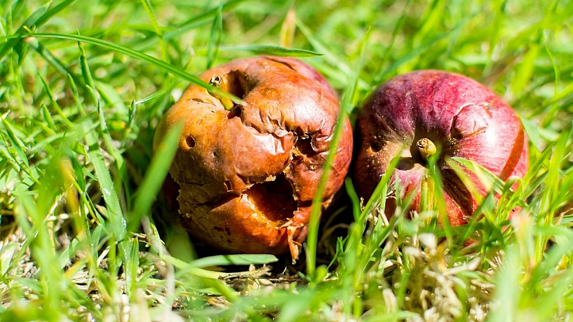 Předpověď počasí a zahrada: sbírejte spadané hnijící ovoce pod stromy