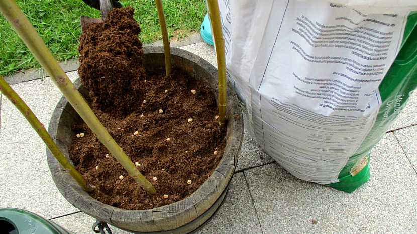 Jak pěstovat hrášek v přenosné nádobě na zahradě i na balkoně pro radost (nejen) dětem 4