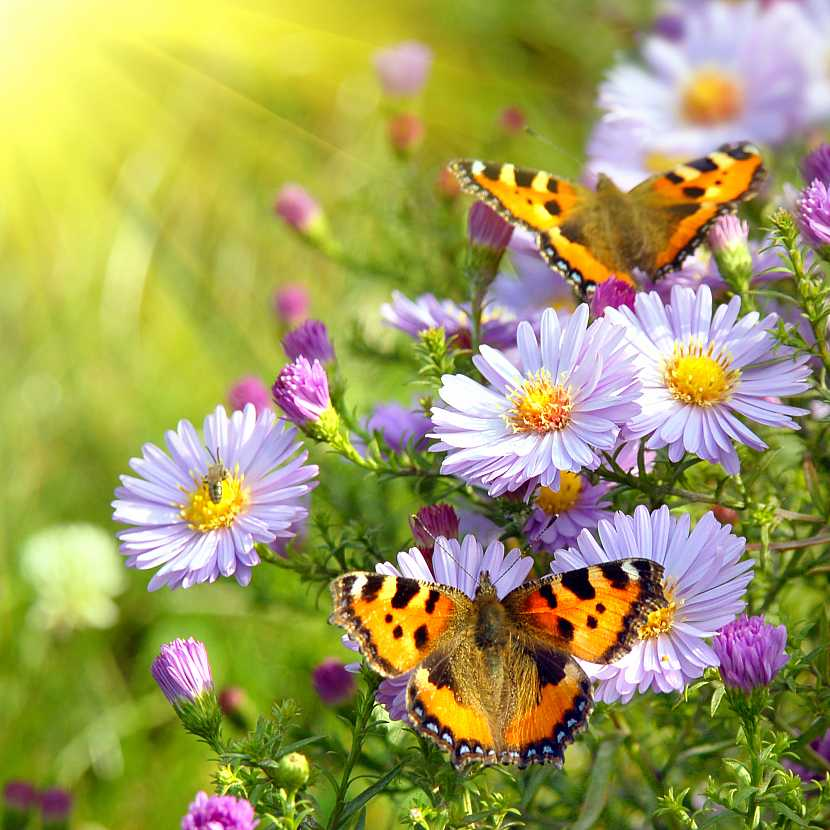 Motýli na chryzantémách