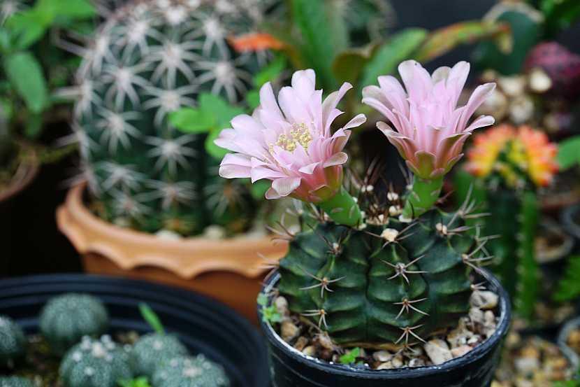 Růžový květ kaktusu v zahradě