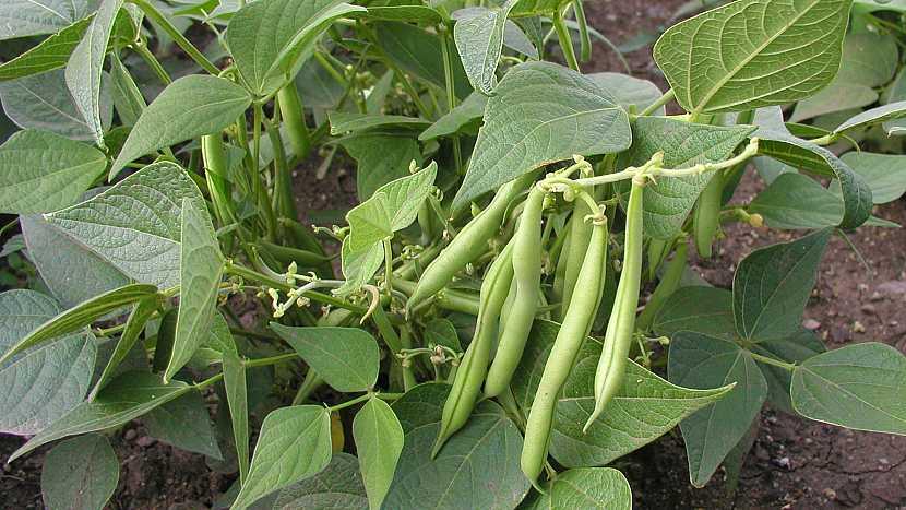 Keříčkové fazole: středně raná až pozdní odrůda BONA