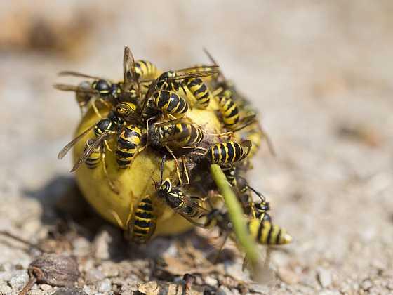 Otravné a nebezpečné vosy útočí na zrající ovoce. Jak je vypudit? (Zdroj: Depositphotos)