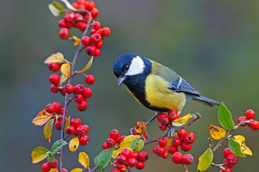 Okrasné keře pro ptáky: skalník