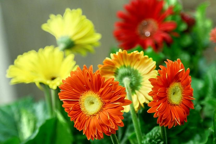 Barevné gerbery: Marnivé krásky v květináči 5