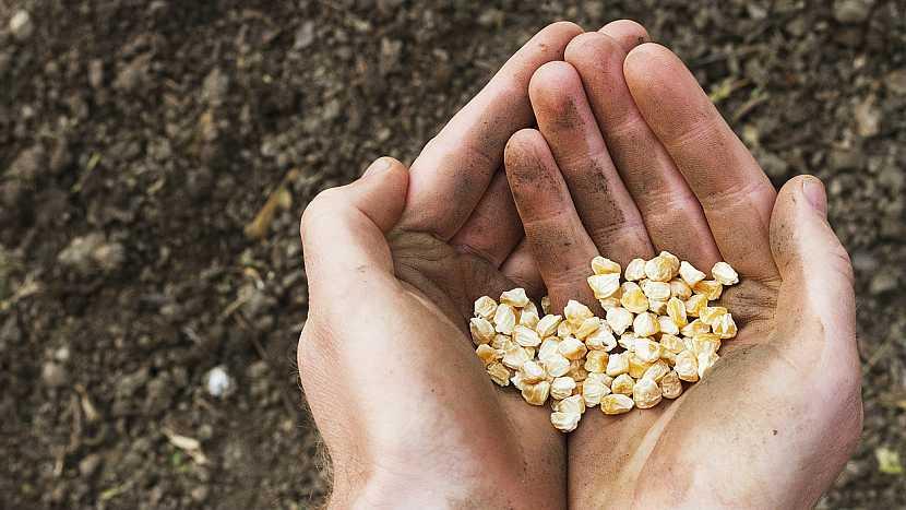 Kdy začít s výsevem teplomilné kukuřice cukrové? 2