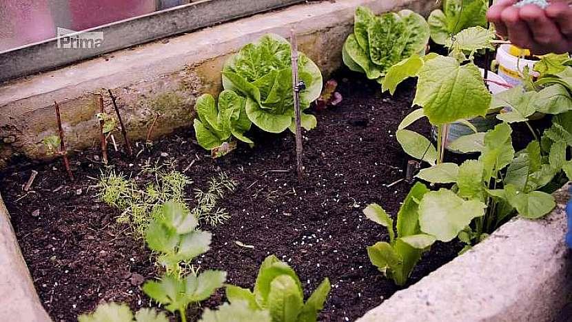 Zelenina ve skleníku
