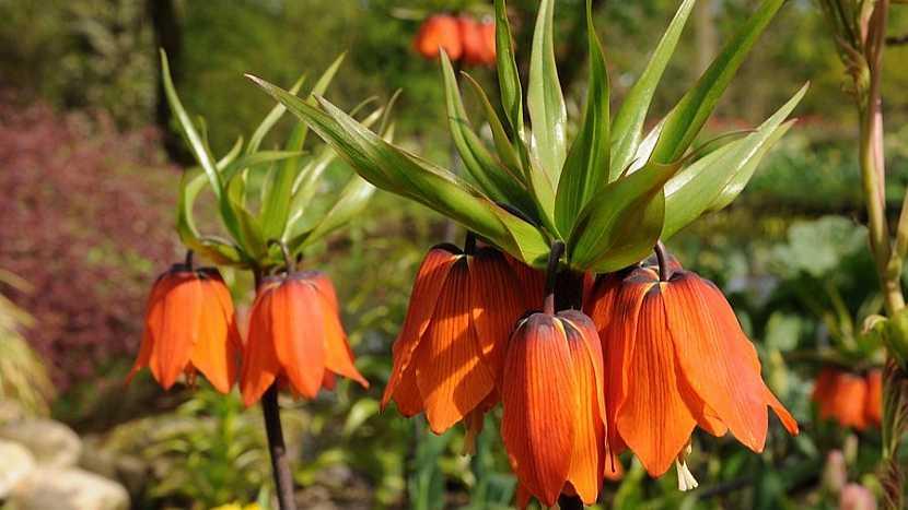 Řebčík královský (Fritillaria imperialis), kultivar Rubra Maxima