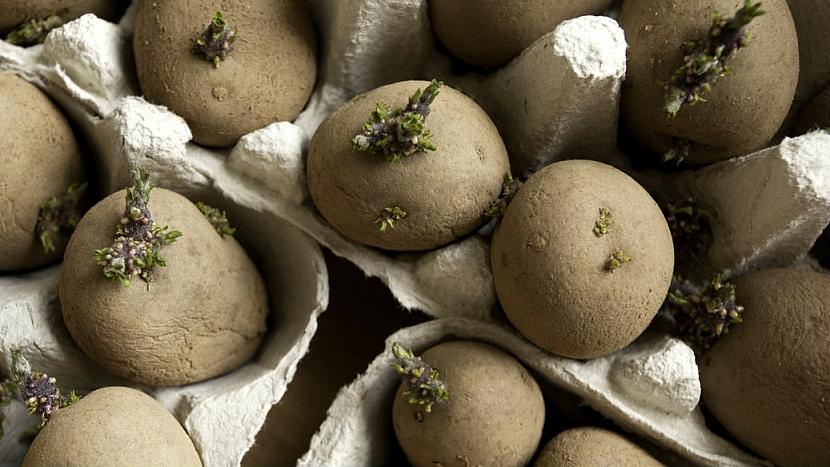 Pěstování brambor: na naklíčení hlíz využijte staré obaly od vajec