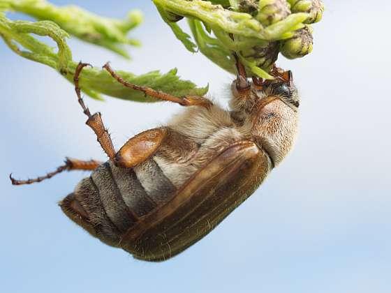 Chroustek letní je příbuzný chrousta, jen je o něco menší a vidět ho můžete v červenci až srpnu (Zdroj: Depositphotos (https://cz.depositphotos.com))