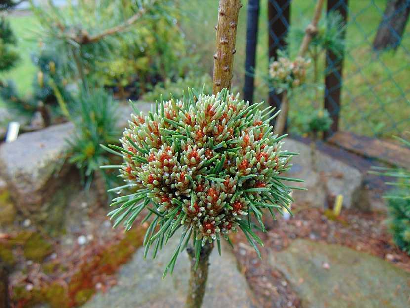 Miniaturní čarověník z roubů borovice