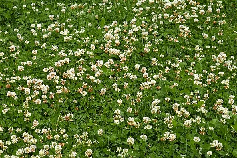Jetele v trávníku