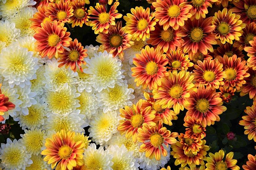 Chryzantémy jsou choulostivé na první mrazíky