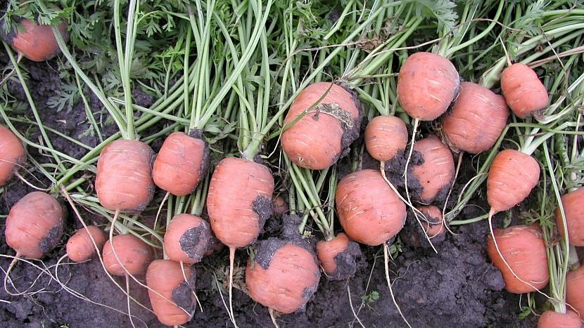 Nad mrkev ze zahrady není: velmi raná až raná odrůda RONDO