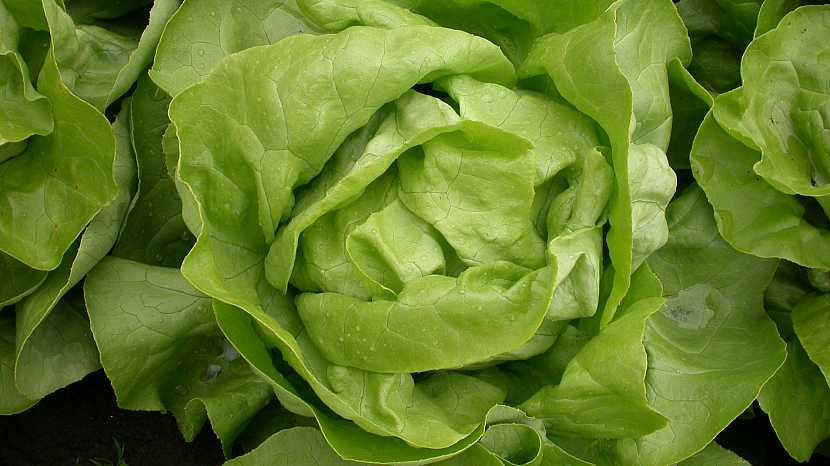 Hlávkový salát: středně raná odrůda Merkurion s velkou hlávkou a tuhými listy