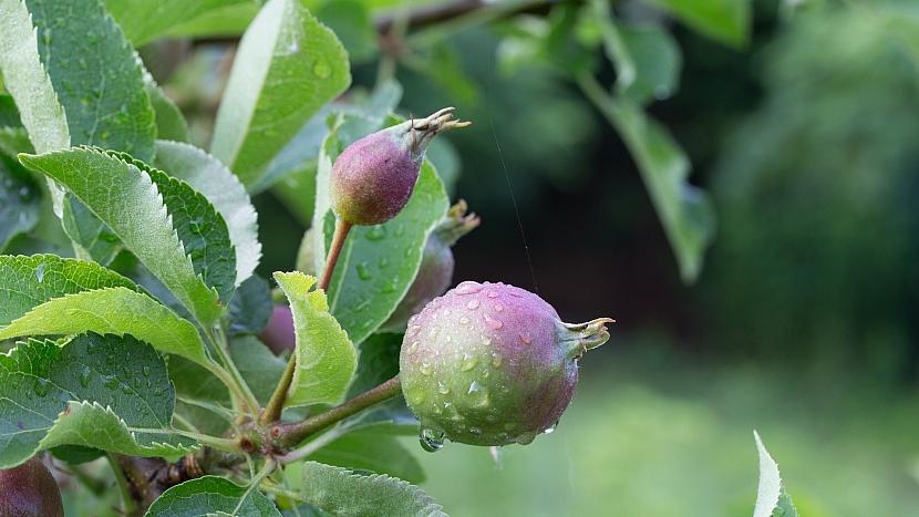 Předpověď počasí a zahrada: protrhejte nadmíru ovocných plodů