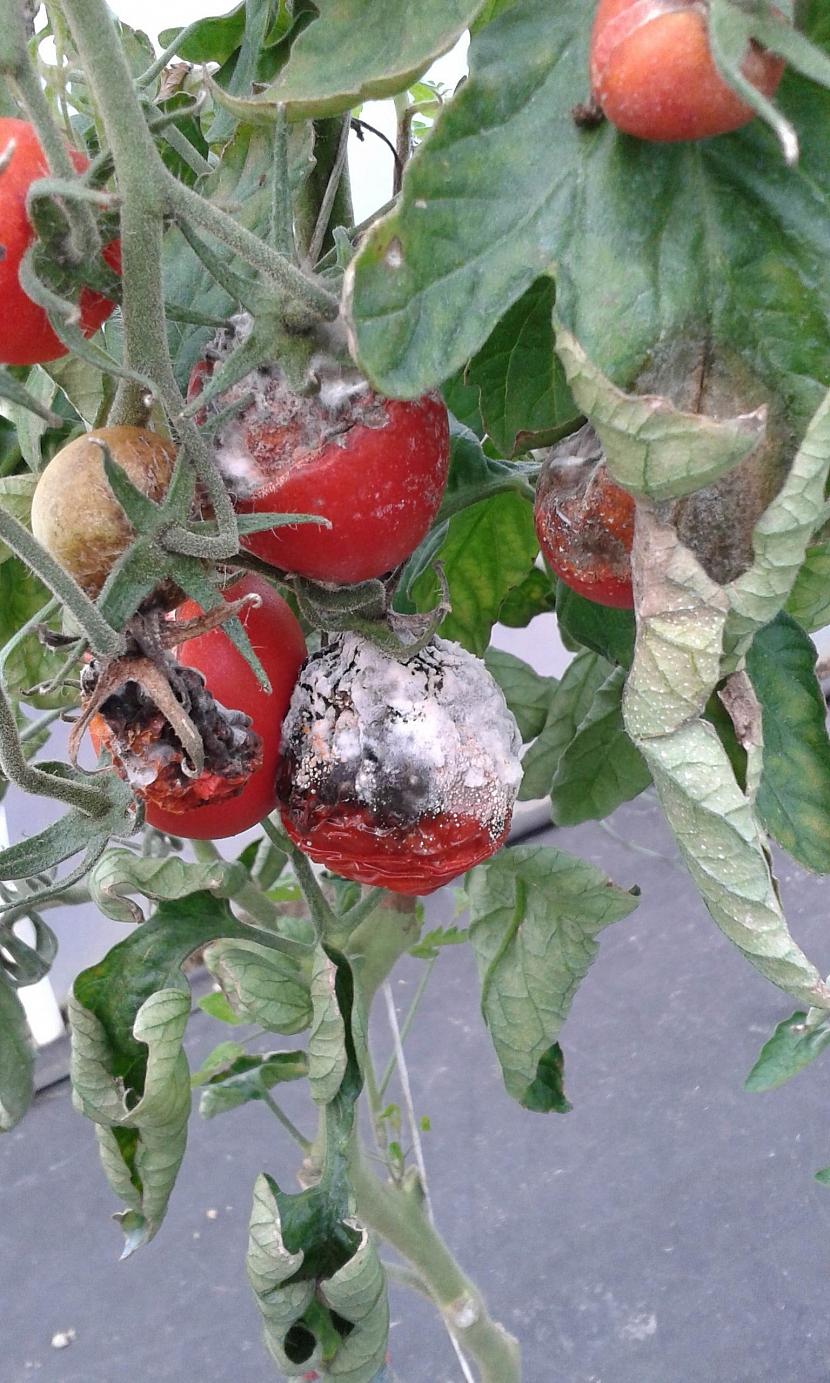 Plíseň šedá u rajčat