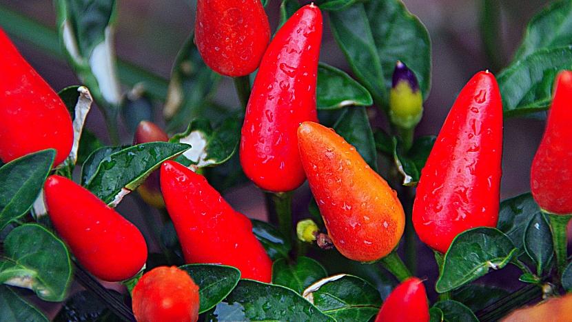 Chilli papričky (Capsicum frutescens), někdy se také používá název kajenský pepř