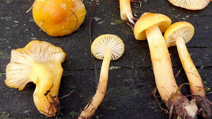 Mírná zima jedlým houbám svědčí: zářivá šťavnatka modřínová (Hygrophorus lucorum)