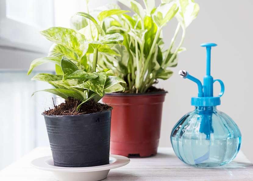 Pothos (nebo šplhavnice) je velmi silná rostlina, která je efektivní čističkou vzduchu