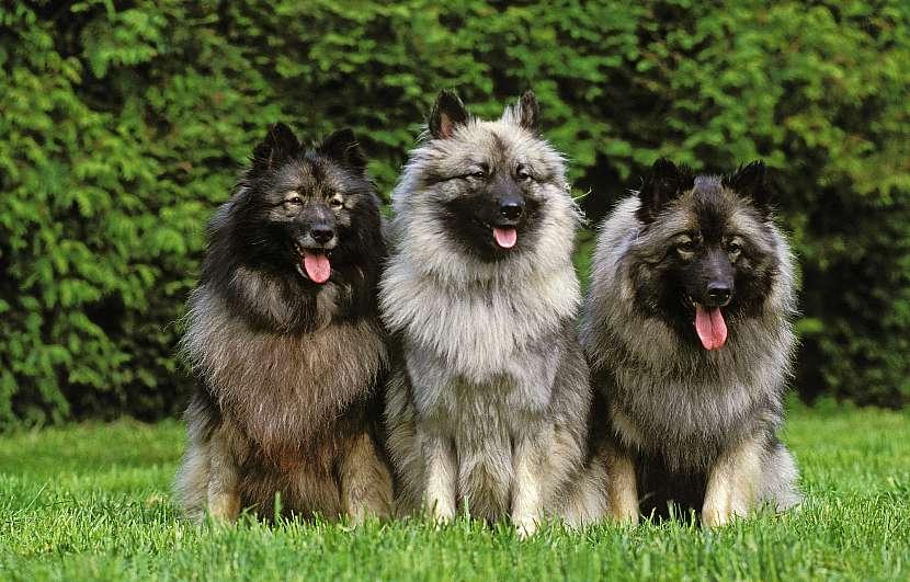 Tři vlčí špicové