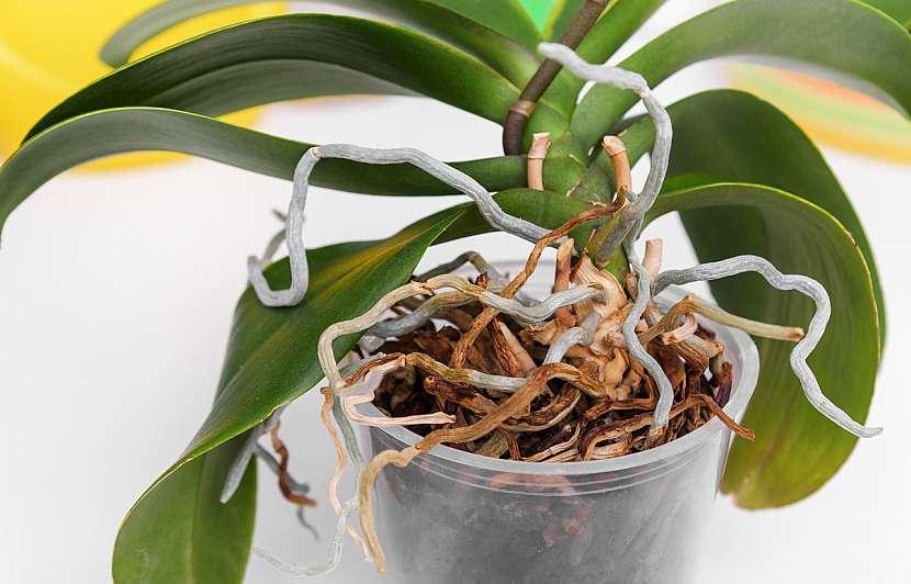 Vzdušné kořeny orchideje se mohou dostat na povrch květináče, což rostlině nijak neublíží, ale naopak světlo a vzduch ocení