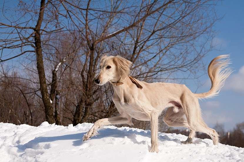 Povaha saluki není jednoduchá, je to pes absolutně nezávislý, těžko ovladatelný a impulzivní