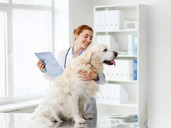 Téměř každý majitel psa během jeho života řeší nebo bude řešit pohybové problémy. Je proto dobré se již při pořizování psa seznámit s anamnézou rodičů. Můžete tak předejít různým zdravotním problémům (Zdroj: Depositphotos)