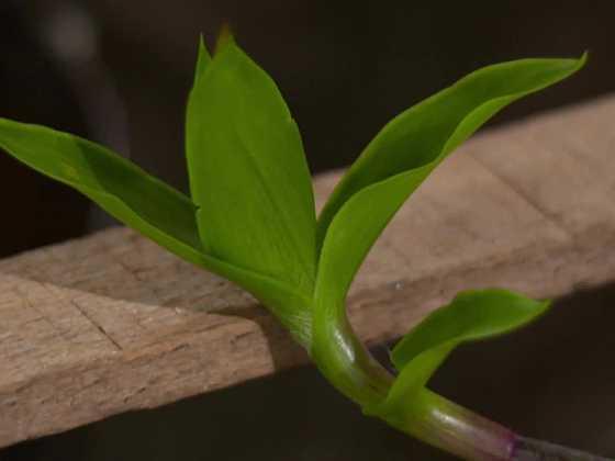 Kalisie je zázračná rostlinka (Zdroj: Prima DOMA)