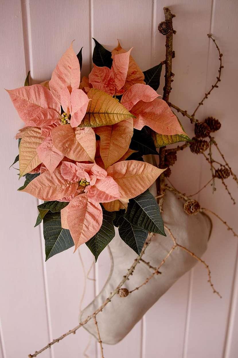 csm_2020_poinsettia_03000_Christmas_Blush_11_33888652ae