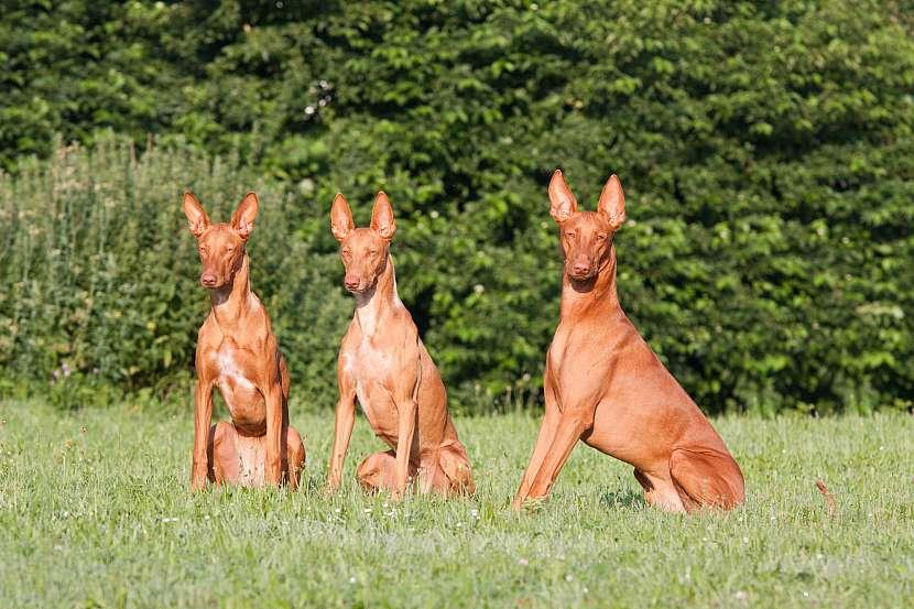 Faraonský pes