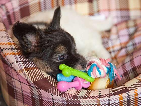 V pelíšku by se měl váš pejsek naučit spát už jako štěňátko (Zdroj: Depositphotos (https://cz.depositpho)tos.com)