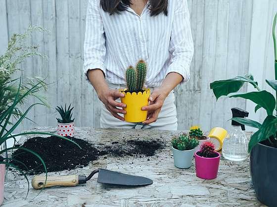 První přesazování na vás čeká hned potom, co si kaktus přinesete domů (Zdroj: Depositphotos (https://cz.depositphotos.com))